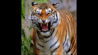 Tigres y hombres. Guerra Mortal